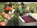 Акыл заман\ Заманбап малина өндүрүшү