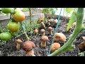 Как вырастить много белых грибов на своем участке,результат,ч.3