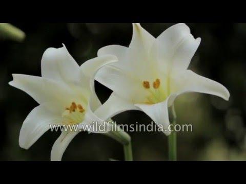 Луковицы Лилии Лонгифлорум