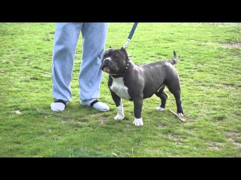 Miss Romania american bully