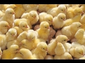 Цыплята. Первые 7 дней жизни.