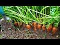 Фрагмент с начала видео Выращивание УРОЖАЙНОЙ моркови МОЙ СПОСОБ от семян до урожая