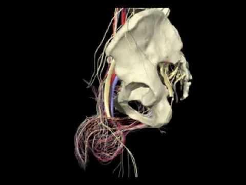 Anatomia Umana Maschile - Male Human Anatomy