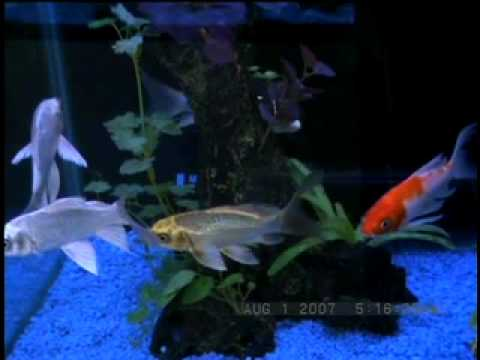 Videoclip #4 - Fish Bowl Pet Shop - Butterfly Koi