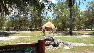 The Headless Camel