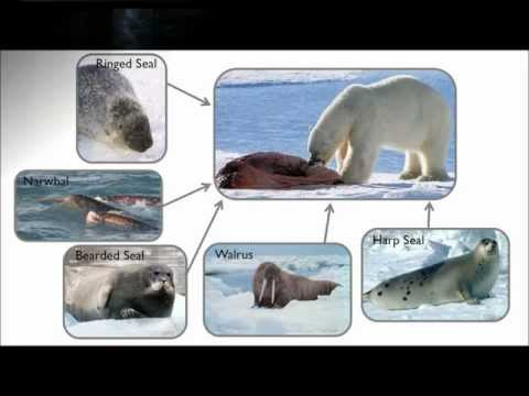 Polar bear diets and exposure to persistent organic pollutants by Melissa McKinney.mp4