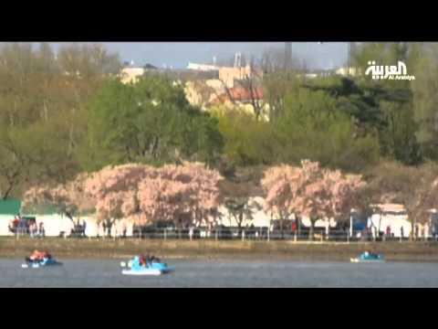 شاهد : بالفيديو افتتاح مهرجان أزهار الكرز في واشنطن