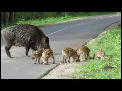 The 13 Best Hog Dogs To Hunt Wild Boar  HuntWildPigcom
