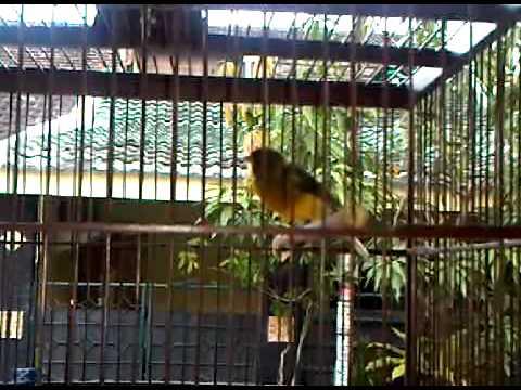 Burung kenari F2YS Juara (blenderan prenjak dan BT)