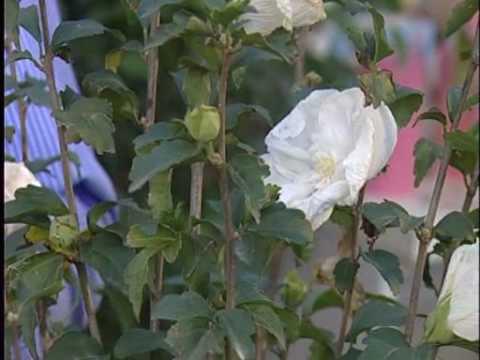 Lezioni di Giardinaggio: come coltivare l'ibisco di Carlo Pagani