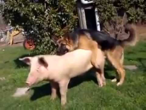 Pig and Dog making love