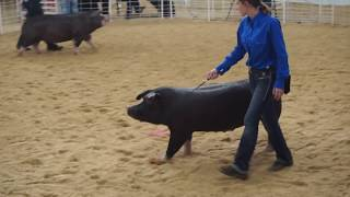 State Fair of Texas Youth Livestock Show Swine Judging