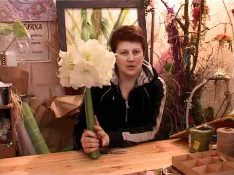 Луковицы амариллиса купить