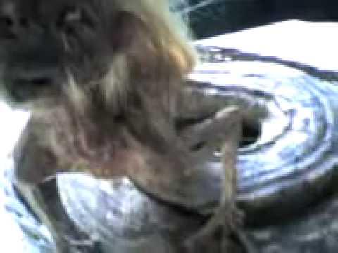 Zmija sa glavom žene pronađena u Malesiji