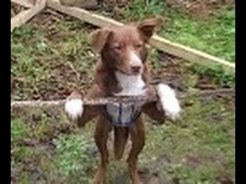بالفيديو.. شاهد كلب بهلوان يتفوق على بعض بني البشر