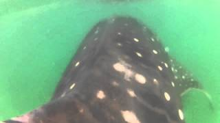 [Cool whale shark ride ] Video
