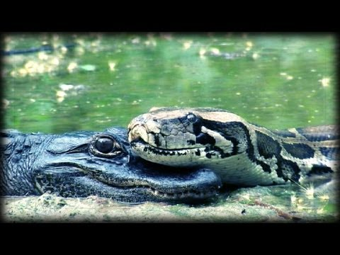 Alligator eats Python 01, Time Lapse Speed x0.5