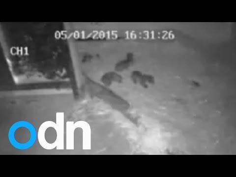 بالفيديو: أنثى نمر نادر تلد 3 توائم فى حديقة حيوان إنجليزية