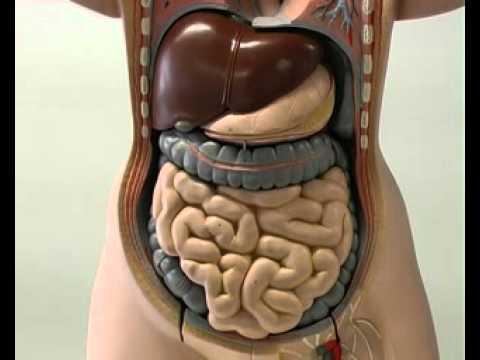 Il corpo umano (3/5) Il sistema digerente