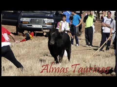 Encierros por el campo Armuña de Tajuña 2011 (Guadalajara) 12 toros