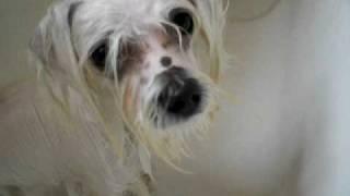 Maltesepuppies Youtube on Goldie   Youtube