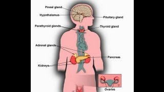 What is endocrine system function major glands of human body youtube ccuart Choice Image