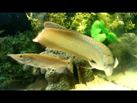 Baby Barracuda Fish Yellowtail Barracuda Fish