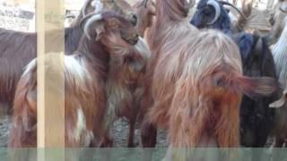halep keçisi videoları,halep keçisi resimleri,halep keçisi özell