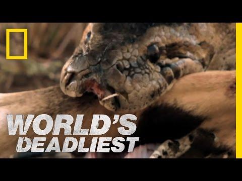 World's Deadliest - Python Eats Antelope