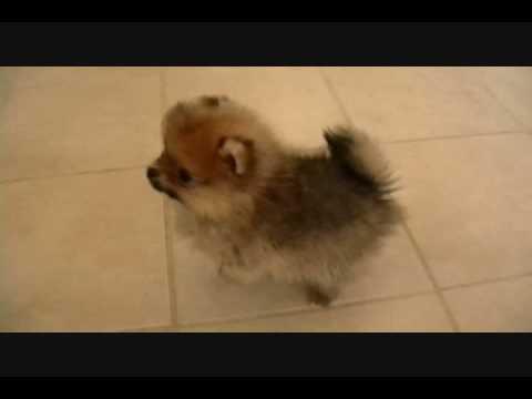 Pomeranian Puppies.wmv