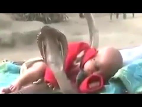 شاهد : 2مليون مشاهدة لـ 4 ثعابين كوبرا يحمون طفلا نائما