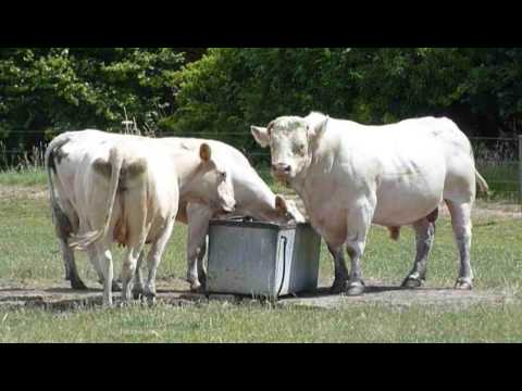 Summer Checkup for the Cows and Calves (DOTF Series 1 Ep1)