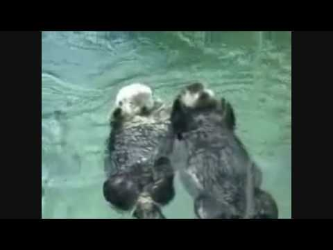 Otters Holding Hands in HD