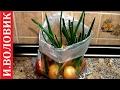 Зеленый лук. Выращиваю лук на перо в пакете на  подоконнике.