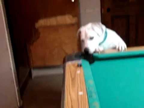 Pas koji igra bilijar