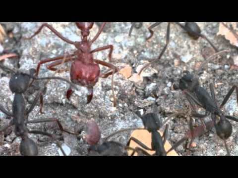 Clash of Ants in the Tropical Dry Forest of Chamela: Phorid Flies on the Look-out
