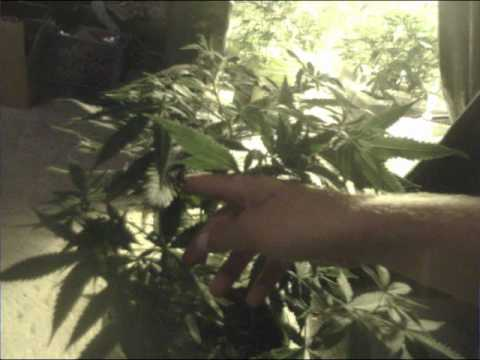What Happens After You Top Your Marijuana Plant