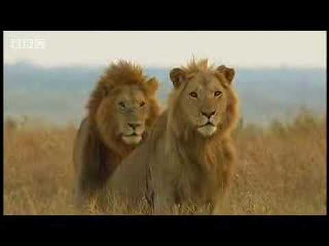 King lion duo and their pride - BBC wildlife
