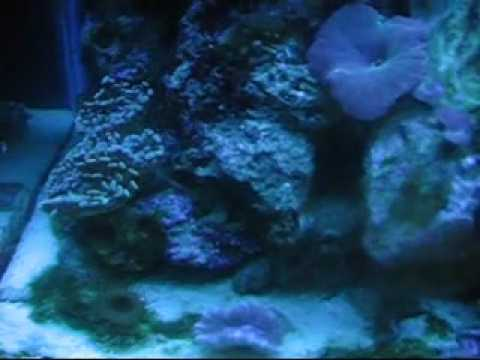 Actinic Blues 20 gallon Nano-Reef