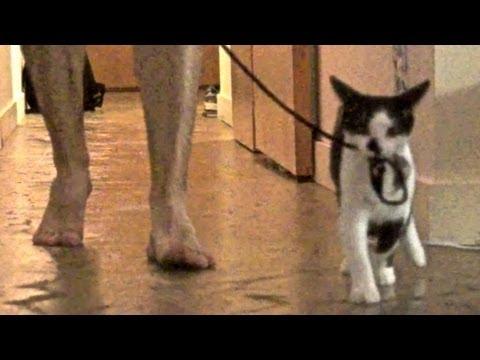 Kako prošetati gazdu…by Kodi The Cat