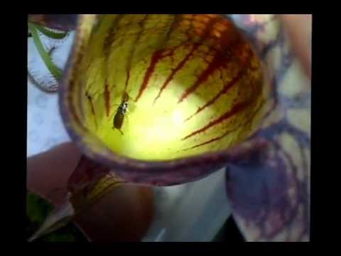 Earwig being digested by a venus fly trap pitcher plant!! Very gross when it really squirms :-S