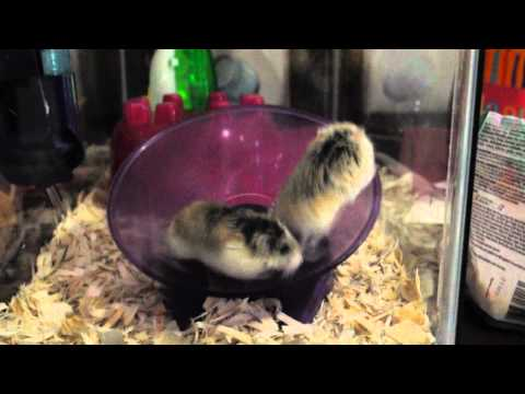 Crazy Hamsters Wheel Two Hamsters One Wheel Spin