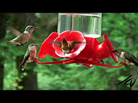 Hummingbirds of Canada ~ Never seen this many before!!!