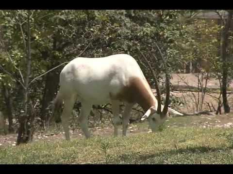 ORIX CIMATRA - ANIMAL UNICO EN SU TIPO EXTINTO EN FAUNA SILVESTRE