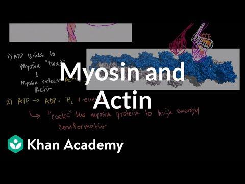 Myosin and Actin