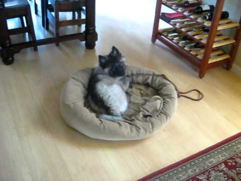 Training your puppy to lie on a dog bed : 10 week old Keeshond Puppy
