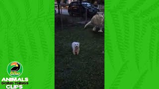Dog Gets Scared By A Snapchat Dinosaur Filter | Animals Doing Things Clips