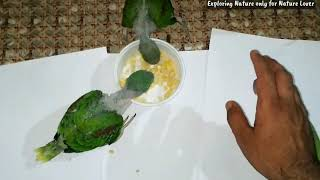 Baby parrot and Adult parrots eating Rice with Chana daal