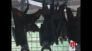 Emperor Valley Zoo Welcomes 13 Malayan Flying Foxes