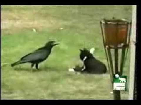 Crow adopts kitten